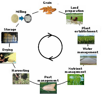 growth stages of a rice plant Effects of drought stress on growth and yield of rice (oryza sativa l) cultivars  [1, 2], plant's behavior a rice leaf is composed of sheath, lamina joint and.