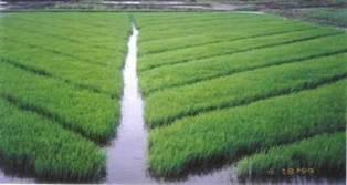 Iv 5 Rainfed Rice Nutrients