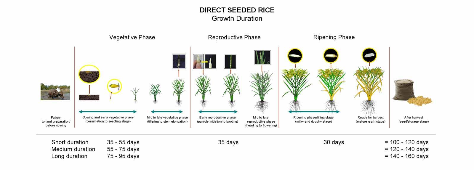 Crop Calendar Irri Rice Knowledge Bank