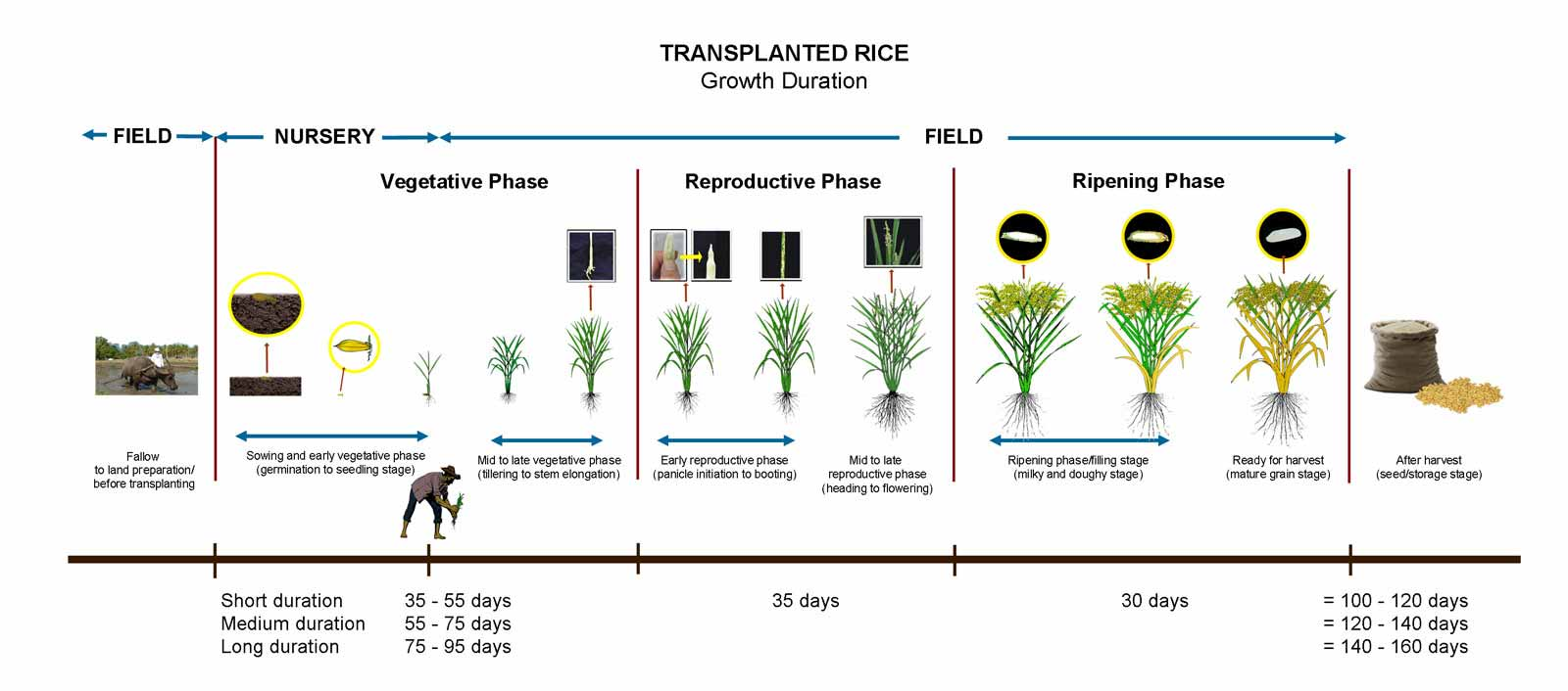Addressing knowledge gaps in rice growing in eastern uganda ifpri - Six alternative uses of rice at home ...