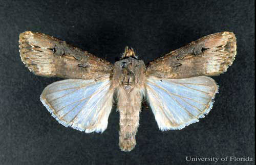 cutworm-black-univ-florida