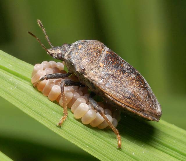 Black Bug Irri Rice Knowledge Bank