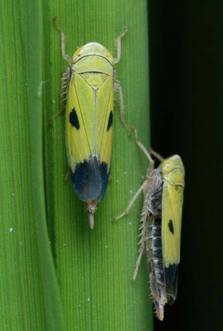 factsheet-green-leafhopper-1