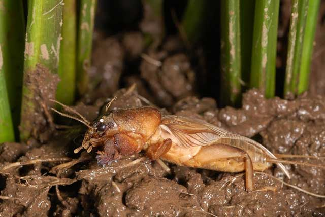 factsheet-mole-cricket