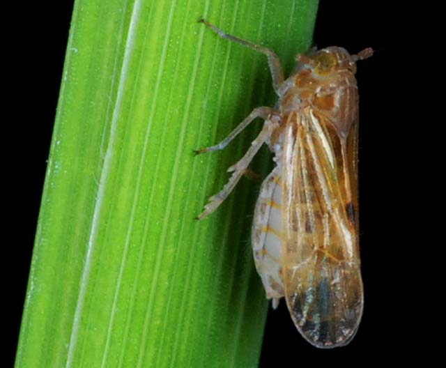 factsheet-planthopper-1