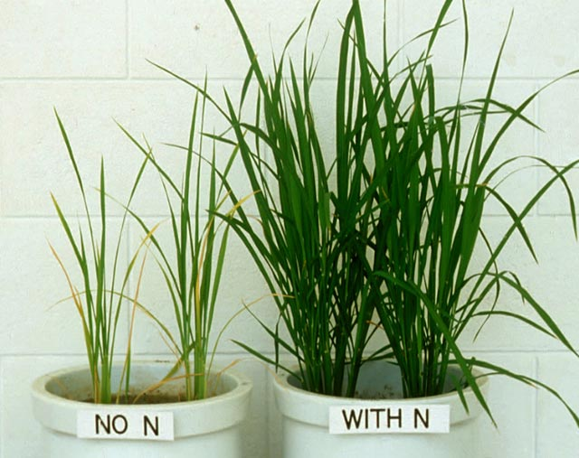 nutrients-nitrogen-deficiency