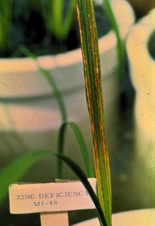 Zinc deficiency irri rice knowledge bank for Soil zinc deficiency