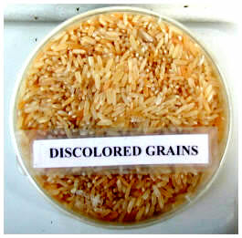 postharvest-discolored-grain