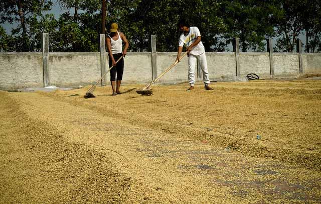 sun drying irri rice knowledge bank