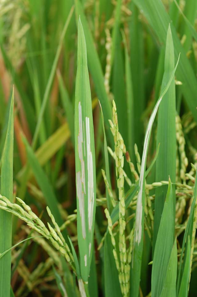 rice-hispa-elongated-feeding