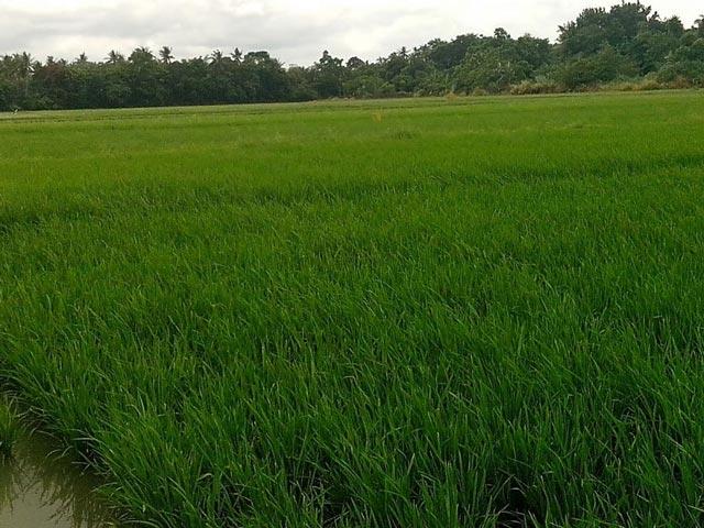 Seed rate (High) - IRRI Rice Knowledge Bank