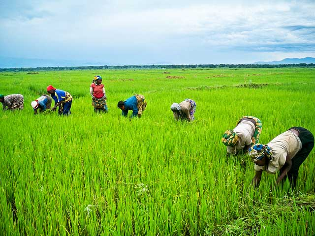 Weed Management Irri Rice Knowledge Bank