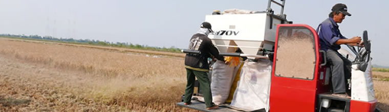 In-field rice straw management