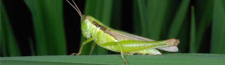Grasshopper (Short-horned) and Locust