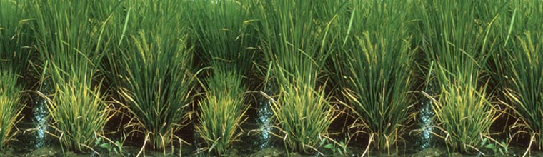 Rice grassy stunt