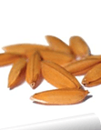 Quality rice seed