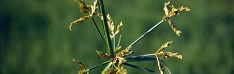 Cyperus iria