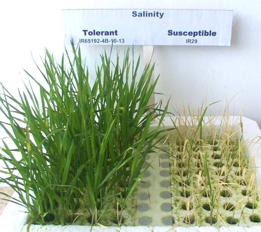 improving salinity tolerance in rice using And salt tolerance in rice  snac1 holds promising utility in improving drought and salinity tolerance in rice  resistance and the transgene expression using the t.
