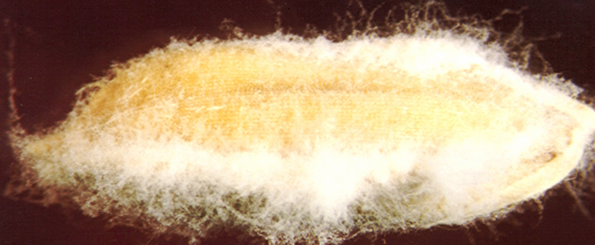 Seed infected with Fusarium moniliforme