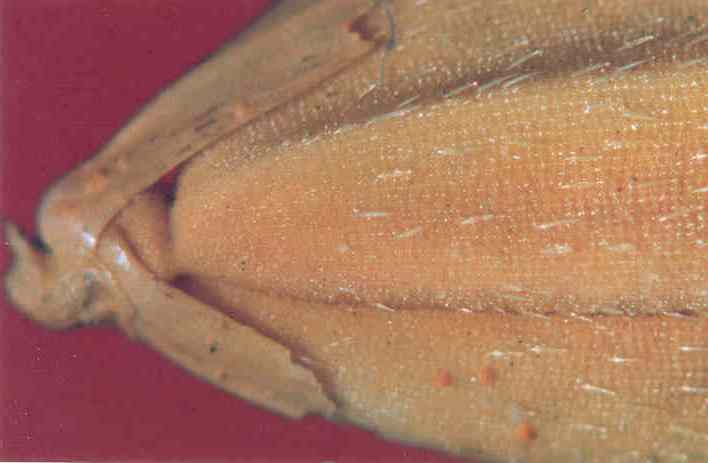 Seed infected with Microdochium oryzae